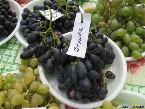 Велика,сорта винограда,гроздья винограда,дегустация винограда,домашний виноград
